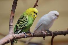 parakeets Imagen de archivo