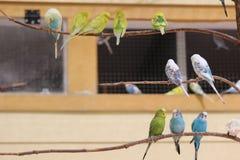 parakeets Imagenes de archivo