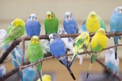 parakeets Стоковые Фотографии RF
