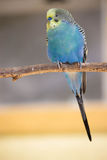 parakeets Foto de archivo