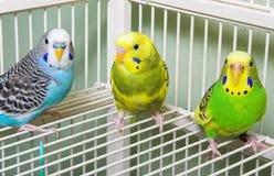 Parakeets lizenzfreie stockbilder
