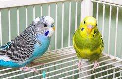 Parakeets stock image
