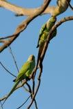 parakeets Fotografia de Stock Royalty Free