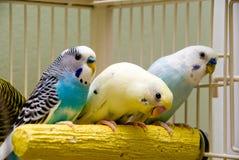 Parakeets Images libres de droits