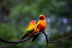 parakeets fotografia stock