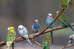 Parakeets on branch. A group of 9 parakeets are visible in this photograph of parakeets on a branch Royalty Free Stock Image
