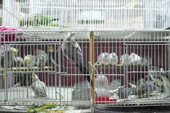 Parakeets in cages for sale Royalty Free Stock Images