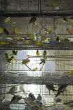 Parakeets in cages for sale Stock Photos