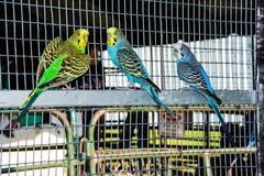 Parakeets Royalty Free Stock Images