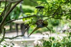 Parakeets feeding at Hyde Park, London Royalty Free Stock Images