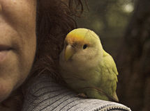 Parakeets Stock Photography