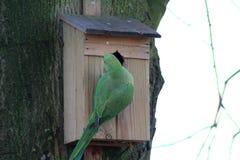 parakeets ringed αυξήθηκε Στοκ εικόνα με δικαίωμα ελεύθερης χρήσης