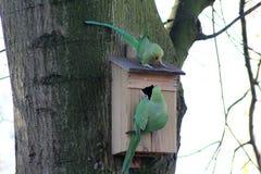 parakeets ringed αυξήθηκε Στοκ Φωτογραφίες