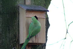 Parakeets rodeado de Rosa Imagem de Stock Royalty Free