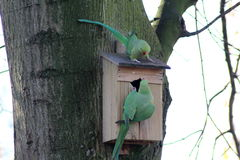 Parakeets rodeado de Rosa Fotos de Stock