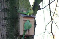 Parakeets rodeado de Rosa Fotografia de Stock