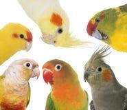 Parakeets in studio Stock Photo