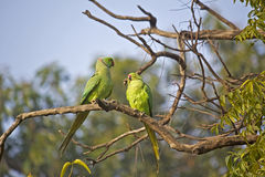Parakeets Stock Photos