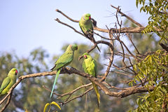Parakeets Stock Photo