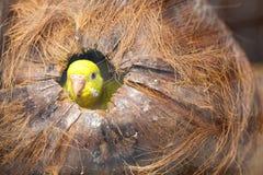Parakiter i kokosnöt förtjänar Arkivbilder