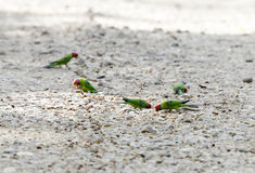Parakiter som äter frukter som ligger på vägarna av Jim Corbett Royaltyfri Fotografi