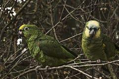 Parakiter som ett husdjur Fotografering för Bildbyråer