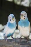 parakiter två Fotografering för Bildbyråer
