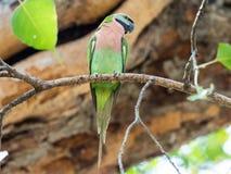 Parakiterfågeln sätta sig på filial för träd` s Royaltyfria Bilder
