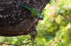 Parakiterfamilj på trädhålet royaltyfri bild