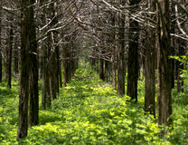 Parallel Forest Royalty Free Stock Photo