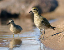 Parallel plovers Royalty Free Stock Images