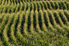 Parallel rows of corn ripening in the field Royalty Free Stock Images