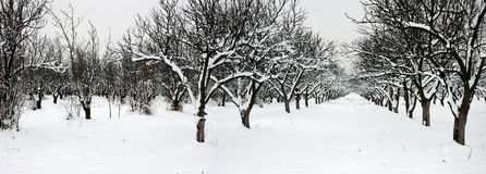 Parallel rows in snowy orchard stock images