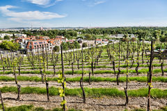 Parallel rows of a vineyard Stock Photography