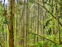 Parallel trees. Asturias. Spain. Lush forest of eucalyptus, perfectly vertical with a nice colorful. Asturias. Spain Royalty Free Stock Photo
