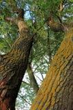 Parallele braun-gelbe Bäume mit Blättern Stockbild