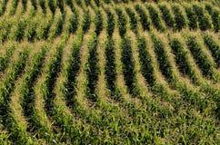 Parallele Reihen von Mais reifend auf dem Gebiet Lizenzfreie Stockbilder