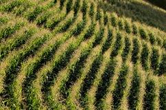 Parallele Reihen von Mais reifend auf dem Gebiet Stockfoto