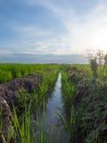 Parallele Weise auf dem grünen Reis-Gebiet Stockfotos