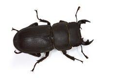 parallelipipedus dorcus Στοκ φωτογραφία με δικαίωμα ελεύθερης χρήσης