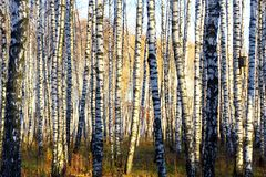 Parallels of a birch grove.