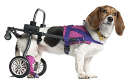 Paralyzed handicapped Mixed-breed dog Royalty Free Stock Image