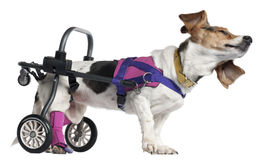 Paralyzed handicapped Mixed-breed dog Royalty Free Stock Images