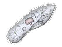 paramecium stock de ilustración