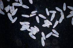 paramecium Immagine Stock