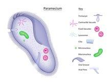 Paramecium con il tasto Immagini Stock
