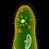 Paramecium Royalty Free Stock Photography