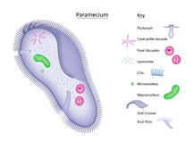 Paramecium with key. Clear, colorful illustration of basic structures of a single-celled paramecium Stock Images