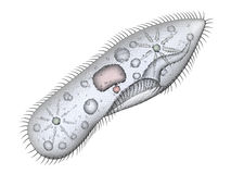 Paramecium Royalty Free Stock Images
