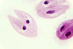Parameciumkonjugation under mikroskopet Royaltyfri Bild